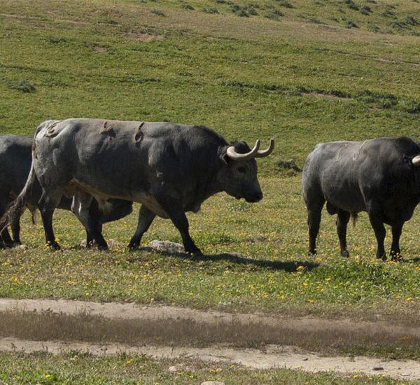 Visita a ganadería de toros bravos, Córdoba, España